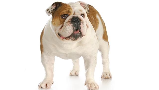 Buldogue Inglês. (Foto: Reprodução / Dog Time / Shutterstock)