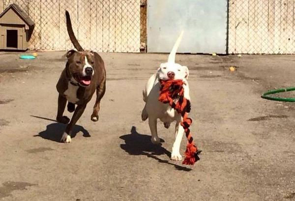 Scooby (esquerda) e Marshmallow (direita) brincando. (Foto: Reprodução / The Dodo)