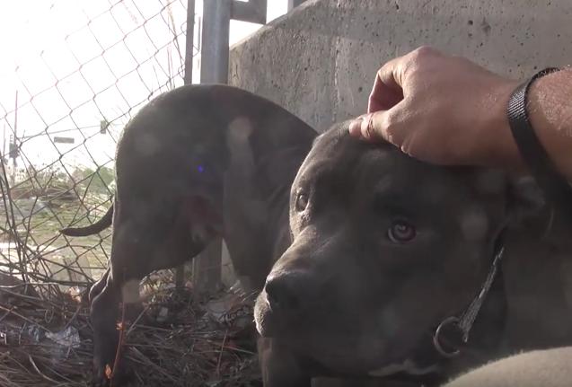 O pit bull descobriu que carinho é uma coisa boa! (Foto: Reprodução / Youtube / Hope For Paws)