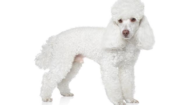 Poodle. (Foto: Reprodução / Dog Time / Shutterstock)