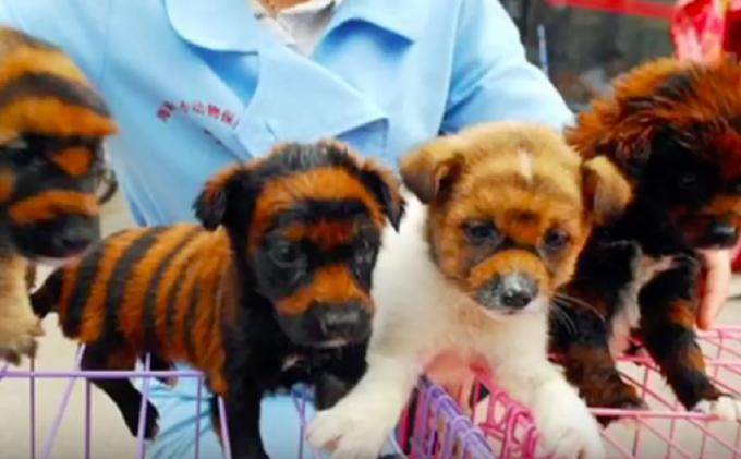 Vendedores chineses estão tingindo cães para ficarem parecidos com tigres. (Foto: Reprodução / Bark Post)
