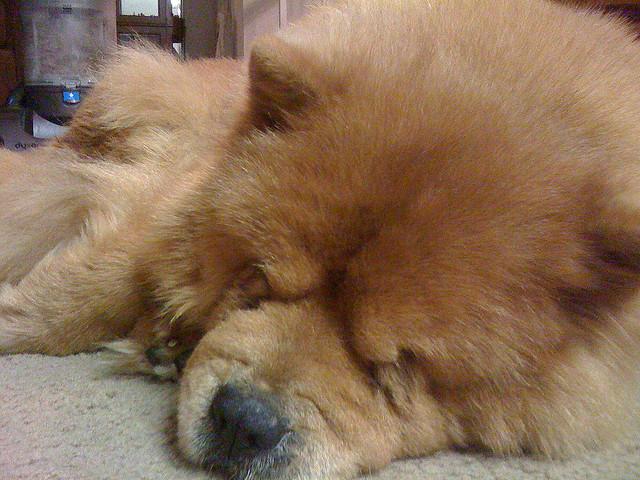 Chow Chow (Foto: Reprodução / I Heart Dogs)