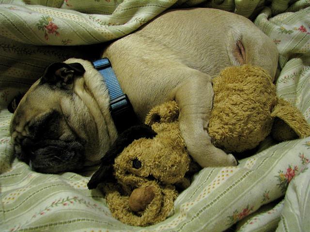 Pug (Foto: Reprodução / I Heart Dogs)