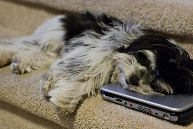 Shih-Tzu (Foto: Reprodução / I Heart Dogs)