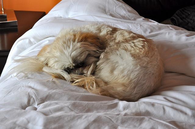 Lhasa Apso (Foto: Reprodução / I Heart Dogs)