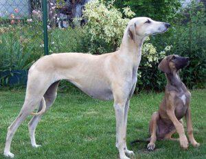 Sloughi - Greyhound Árabe (Foto: Reprodução / Tu Amigo El Perro)