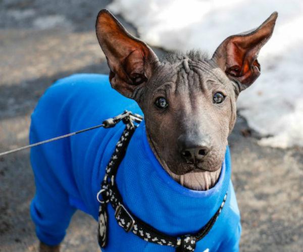 Xoloitzcuintli (Foto: Reprodução / Bark Post)
