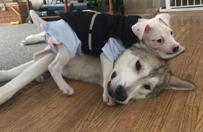 O filhote de pit bull Valentino encontrou um grande companheiro: o cão James. (Foto: Reprodução / Bark Post)