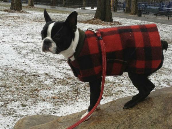 Boston Terrier (Foto: Reprodução / Bark Post)