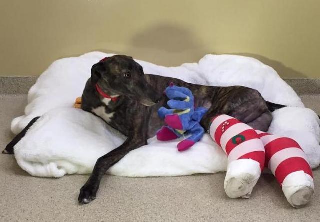 A cachorra Asha quebrou duas pernas por causa do esforço excessivo. (Foto: Reprodução / Facebook / Grehounds Adoption Center)