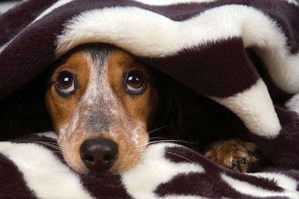 A maioria dos cães ficam assustados com o barulho dos fogos de artifício. (Foto: Reprodução / Google)
