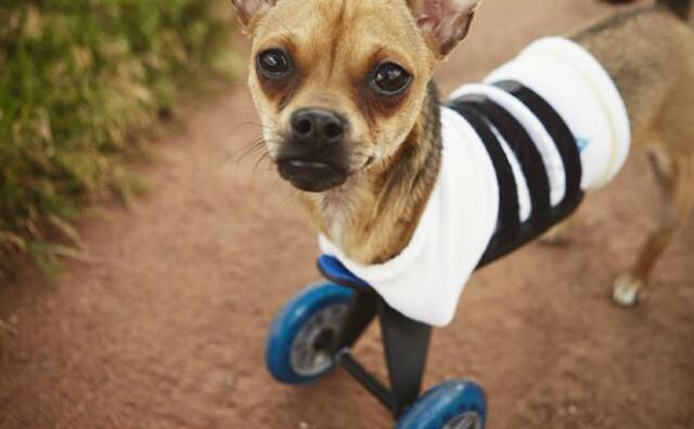 Alguns cães nascem especialmente diferentes. (Foto: Reprodução / Bark Post)