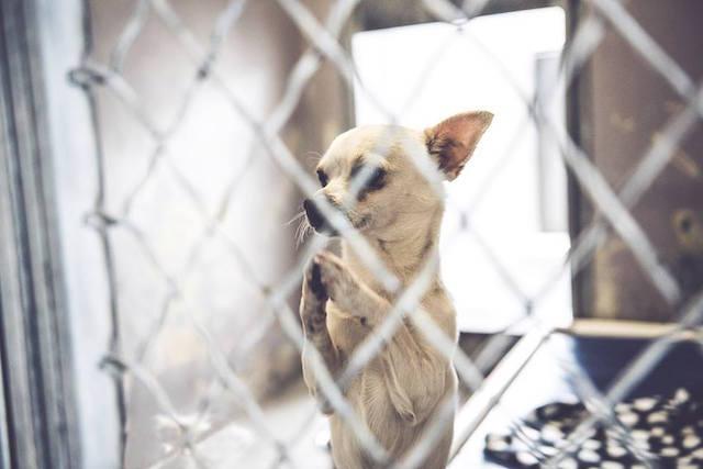 O chihuahua parece estar implorando para ser adotado. (Foto: John Swang)
