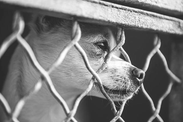 É possível ver a tristeza no olhar dos cães que vivem em abrigos. (Foto: John Swang)