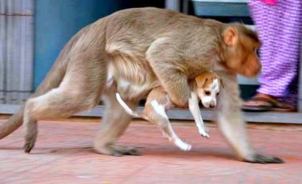 A macaca carrega o cachorrinho para todo canto. (Foto: Reprodução / Bark Post)