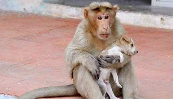 A macaca se tornou mãe do cachorrinho. (Foto: Reprodução / Bark Post)