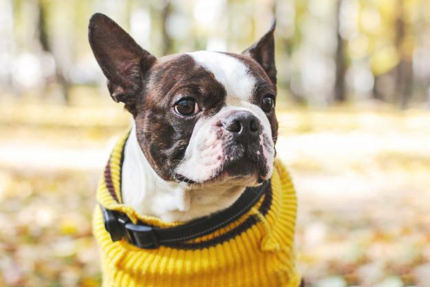 cachorro que não suportam o frio