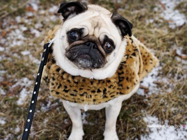 Pug (Foto: Reprodução / Bark Post)