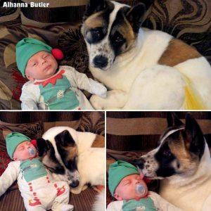 Após o nascimento do bebê, Keola passou a adotar o papel de babá, estando sempre ao lado do irmãozinho humano. (Foto: Reprodução / Life With Dogs / Alhanna Butler)