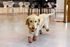O cão se adaptou rapidamente ao novo tamanho das patinhas. (Foto: Reprodução / ARME)