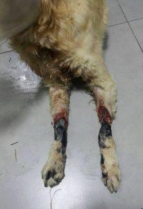 Ficar pendurada amarrada pelas patas causou graves danos a cadelinha. (Foto: Reprodução / ARME)