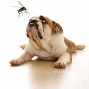 Mosquito Aedes aegypti pode transmitir a dirofilariose para cães e gatos. (Foto: Reprodução / Vet Care)