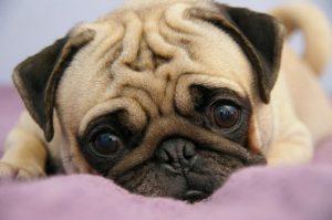 Cães de focinho curto sofrem de Síndrome Braquicefálica. (Foto: Reprodução / Love Pet Food)