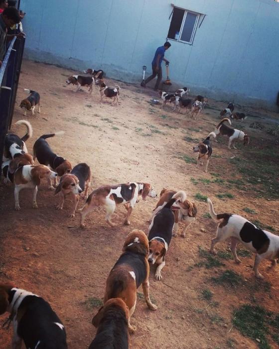 Beagles aprendendo o que é a liberdade. (Foto: Reprodução / Facebook / Chinthana Gopinath)