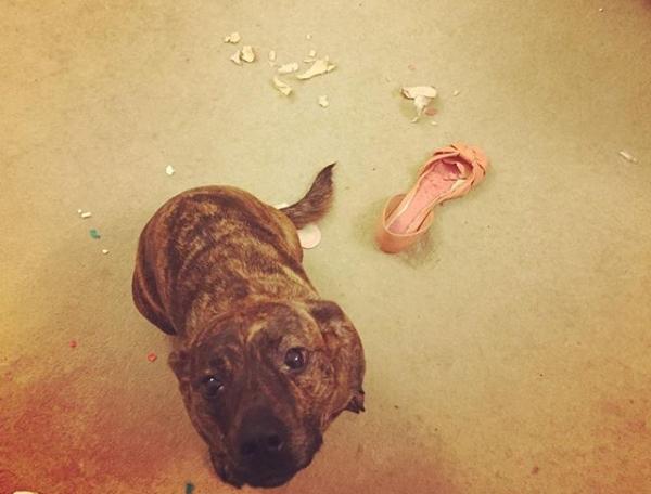 Cachorros adoram aprontar. (Foto: Reprodução / Bark Post)