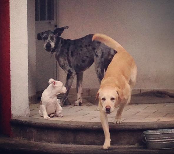 O pit bull filhote ao lado dos irmãos caninos Teodoro e Olivia. (Foto: Reprodução / Instagram / jandritoo)