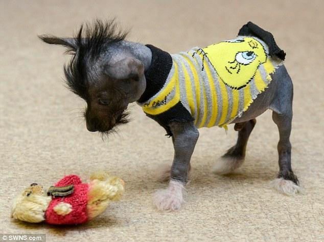 O cão Arthur precisa de roupas para se manter aquecido. (Foto: Reprodução / Daily Mail UK)