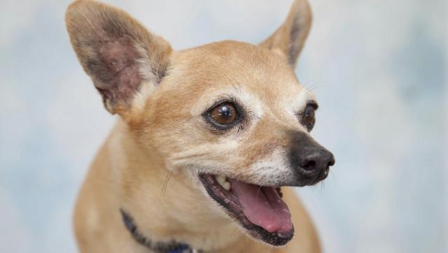 Chihuahua. (Foto: Reprodução / Dog Time)