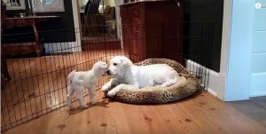 O bebê cabra foi quem se aproximou do cão primeiro. E depois foi só animação. (Foto: Reprodução / Youtube Sean cadden)