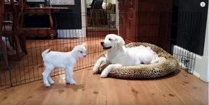 No começo o cão tentou manter a calma enquanto olhava o bebê cabra de longe. (Foto: Reprodução / Youtube Sean cadden)