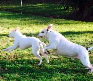 Pink hoje é um cão feliz e que adora brincar com seus irmãos caninos. (Foto: Reprodução / Paulette Goodreau)