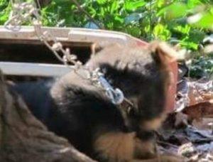 As correntes eram grossas, pesadas e bem curtas. (Foto: Reprodução / Dogs Deserve Better)