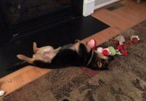 A filhote tem agora uma vida tranquila e feliz, como todos os cães merecem e devem ter. (Foto: Reprodução / Dogs Deserve Better)