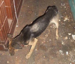 A cadelinha vivia em péssimas condições, estava magra e ficou com pescoço bastante machucado da corrente. (Foto: Reprodução / SNARR)