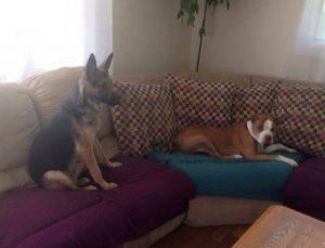 Hoje Bella vive feliz e saudável nos EUA e adora ficar no sofá enquanto assiste televisão. (Foto: Reprodução / SNARR)
