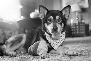 Para sempre lembrarem de Marcie, os novos tutores decidiram fazer uma sessão de fotos especial com a fotógrafa Lisa Binns. (Foto: Reprodução / Shelter Dog Photography)