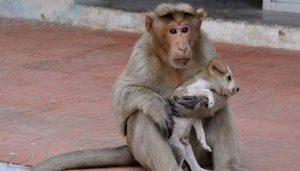 Na Índia, macaca adotou cão filhote que havia sido abandonado. (Foto: Reprodução / ZeeNews)
