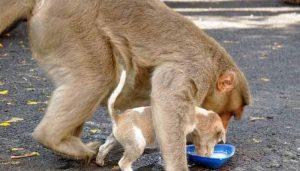 Além de dar muito carinho, a mamãe macaca se certifica de que o cãozinho está se alimentando bem. (Foto: Reprodução / ZeeNews)
