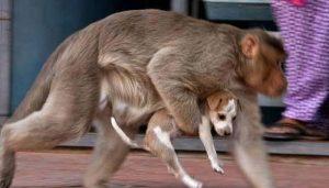 Moradores da região ficaram impressionados com o cuidado que a macaca tem com o filhote. (Foto: Reprodução / ZeeNews)