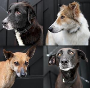 Metade dos cães levados para o Canadá foram Adotados. O abrigo em Israel está sendo reformado e o restante dos animais recebendo cuidados veterinários especiais. (Foto: Reprodução / Dog Tales)