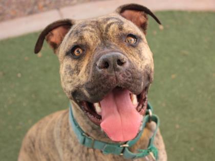 A raça pode interferir nas chances de adoção de um cachorro. (Foto: Reprodução / Facebook / Arizona Animal Welfare League & SPCA)