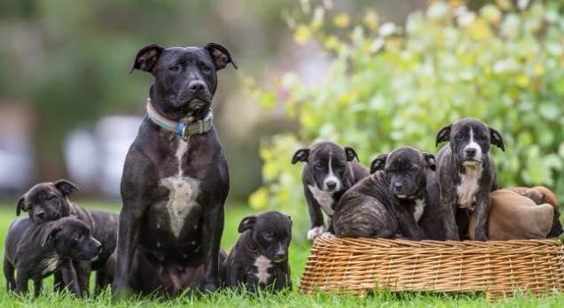A pit bull Star com seus filhos adotivos. (Foto: Reprodução / Bark Post)