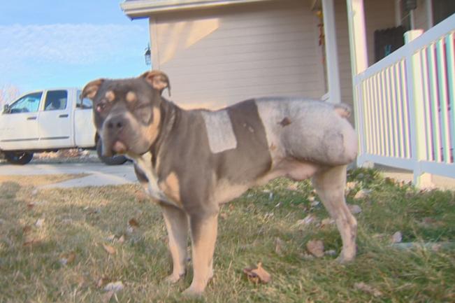 O cão está se recuperando do acidente. (Foto: Reprodução / KTVB)