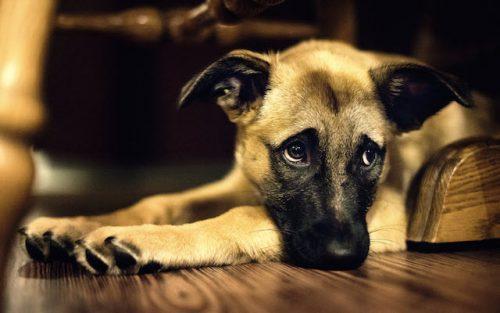 Os cães são sensíveis ao estresse. (Foto: Reprodução / Google)