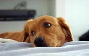 Os cães podem sofrer com a separação dos pais. (Foto: Reprodução / Google)