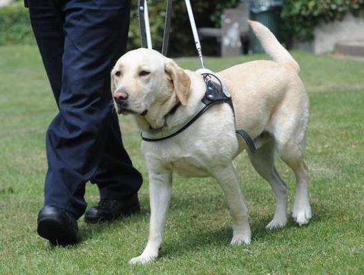 Labrador Retriever. (Foto: Reprodução / Google)